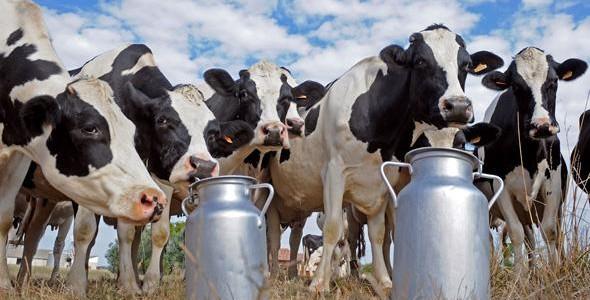 Investissement dans une vache laitière